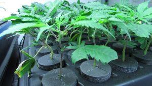 Marijuana clones are cannabis starter plants
