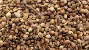 How do I pick marijuana seeds SOURCE: Wikimedia Commons