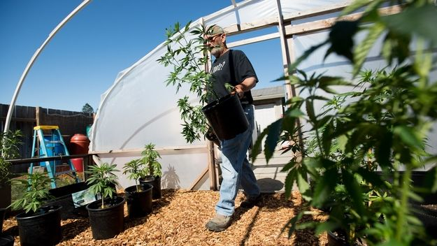 Pot grower Steve Evans carries marijuana plants into a greenhouse at his Santa Rosa, Calif., home on Monday, May 22, 2017. SOURCE: Noah Berger