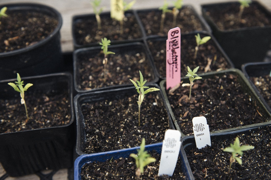 Starting cannabis from seed? Here's help from a master