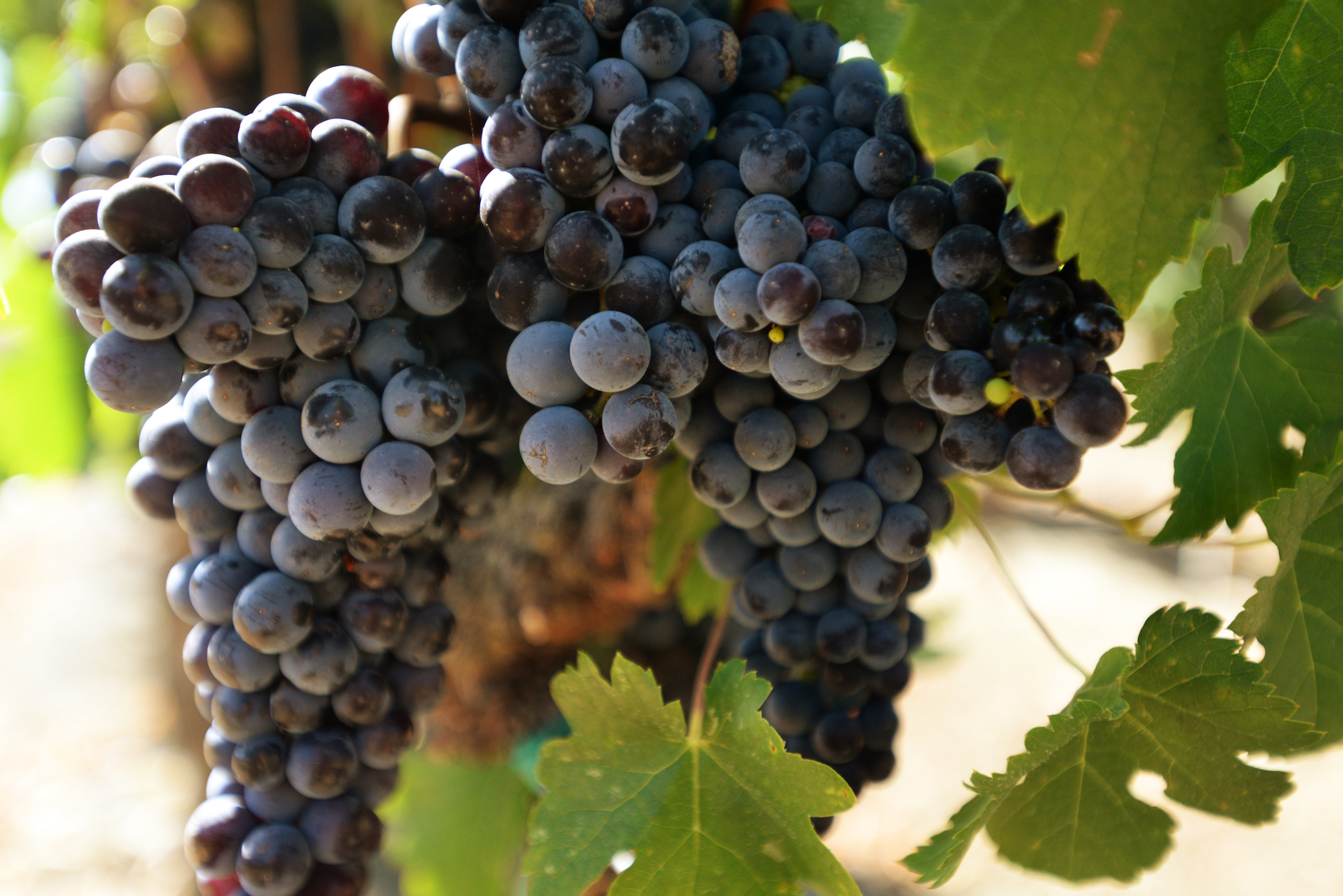 Comstock, Right Bank-style, Merlot, grapes on vine