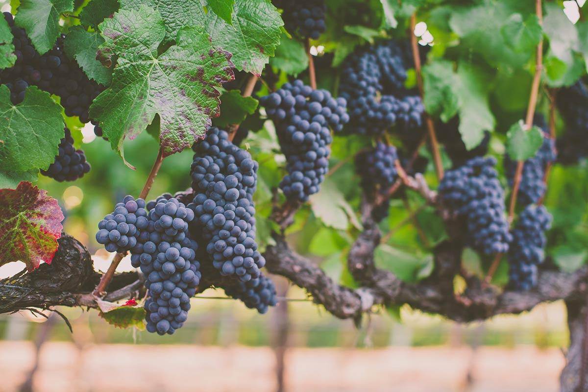 Napa Cellar Grapes