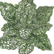Spinach: Bloomsdale image