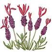 Lavender: Spanish image