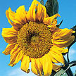 Sunflower: Hopi Black Dye image