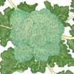 Broccoli: Calabrese image