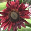 Sunflower: Chocolate Cherry image