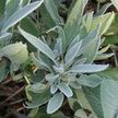 Sage: Salvia officinalis image