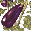 Eggplant: Ferry-Morse, Early Long Purple image