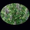 Anise Hyssop: Anise Hyssop image