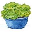 Lettuce: Garden Babies image