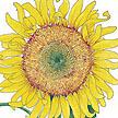Sunflower: Russian Mammoth image