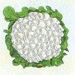 Cauliflower: Snowball Self-Blanching image