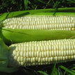Corn: Aunt Mary's Sweet image
