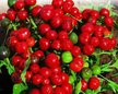 Peppers: Ciliegia piccante image