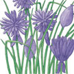 Chives: Common image