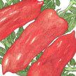 Tomato: San Marzano Lungo No. 2 image
