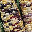 Corn: Wade's Giant Indian Flint Corn image