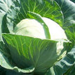 Cabbage: Early Flat Dutch image