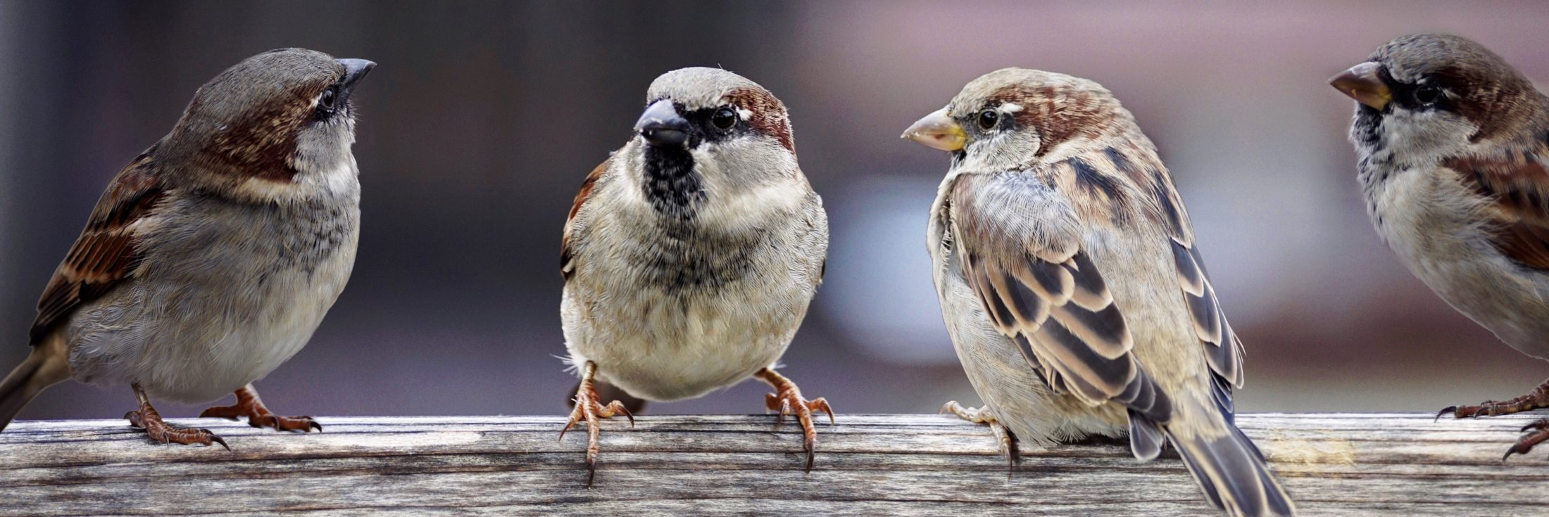THE LAND THAT KNOWS ME: MY SPARROW FRIENDS IN NEW YORK'S CENTRAL PARK