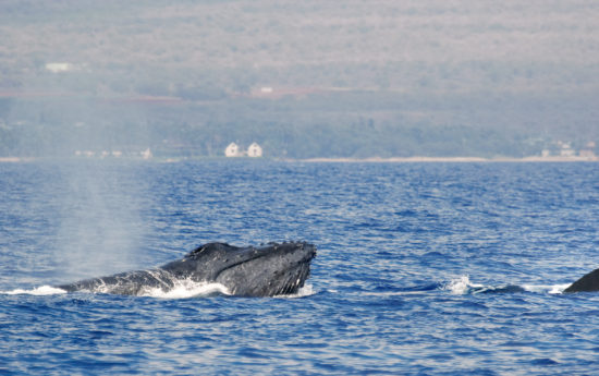Whale watching is a part of many activities enjoyed while visiting Hawaii