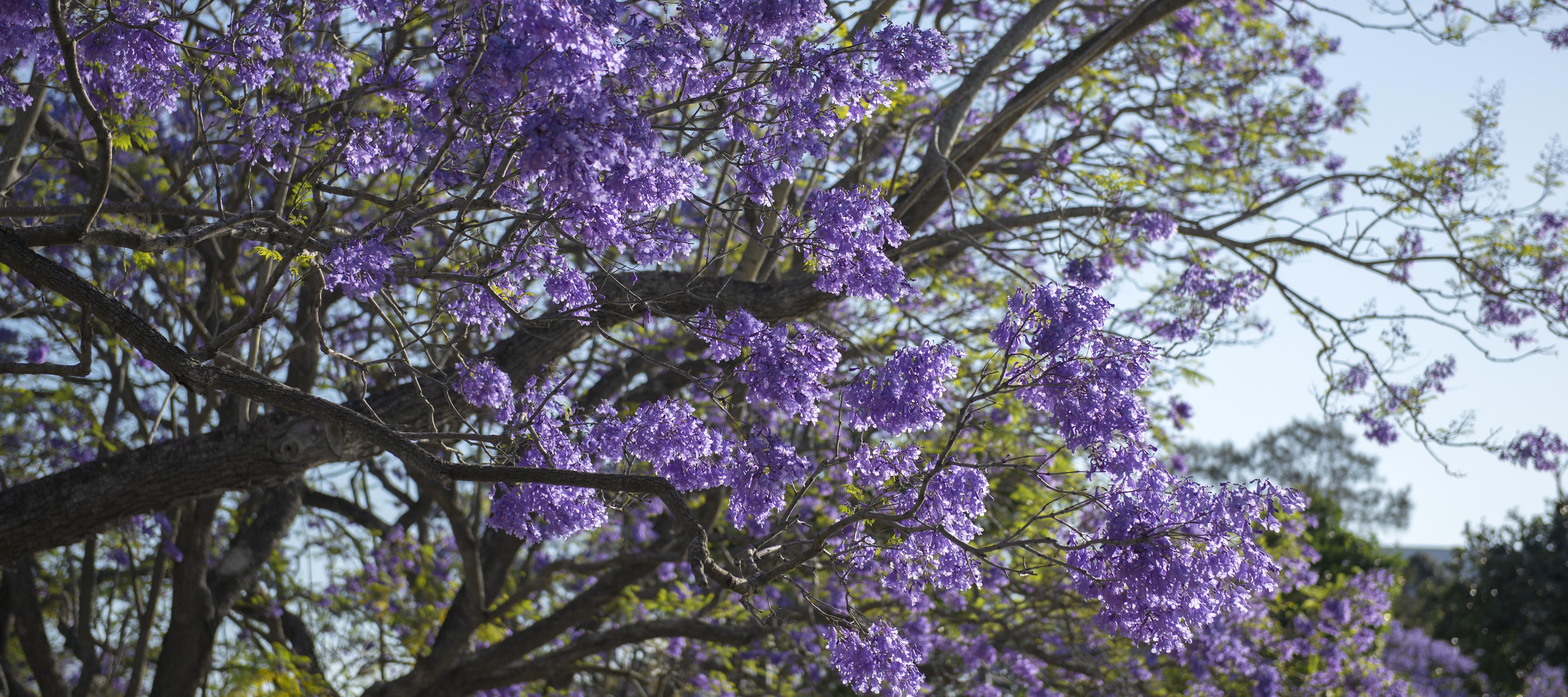 Flowering Jacaranda Trees - Maui, Hawaii | Skyline Eco ...