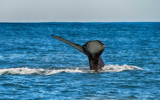 Tail of a whale in the ocean