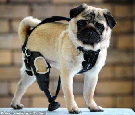 Empresa se enfoca en la creación de miles de perritos felices, que por cualquier motivo perdieron alguna extremidad y el equipo de P4D estará dispuesta...