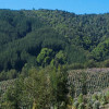 tree plantation and natural forest in Chile