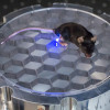Mouse equipped with optogenetic device