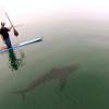 shark swimming beneath paddle board