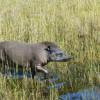 tapir walking through a marshy area