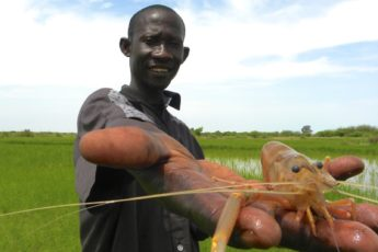 Research assistant holding a freshwater prawn
