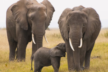 Two mature elephants and a baby.