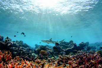 A black tip shark swims above a shallow reef of primarily dead coral skeletons at Palmyra Atoll.