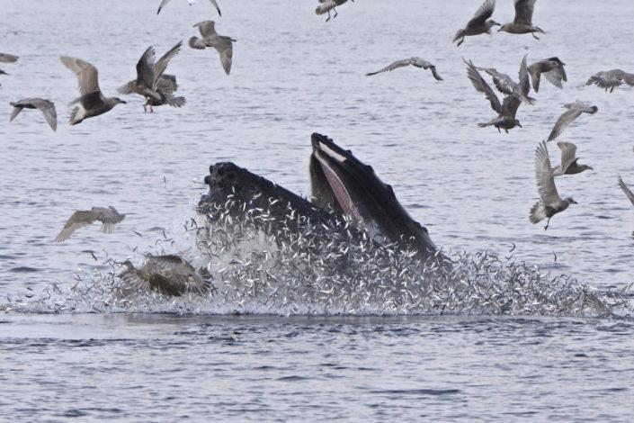 A humpback whale emerging underneath a herring ball