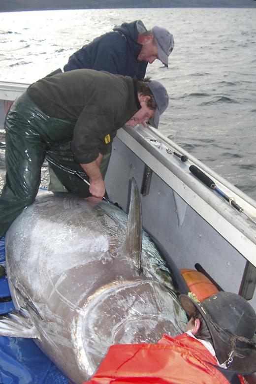 researcher tagging a tuna