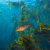 fish swimming in kelp off Souther California's Channel Islands