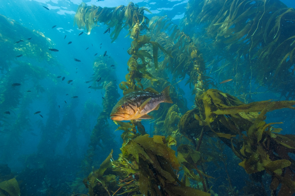fish swimming in kelp off Southern California's Channel Islands