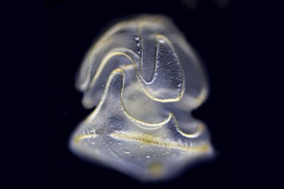 Magnified Schizocardium californicum as a larva on a black background.