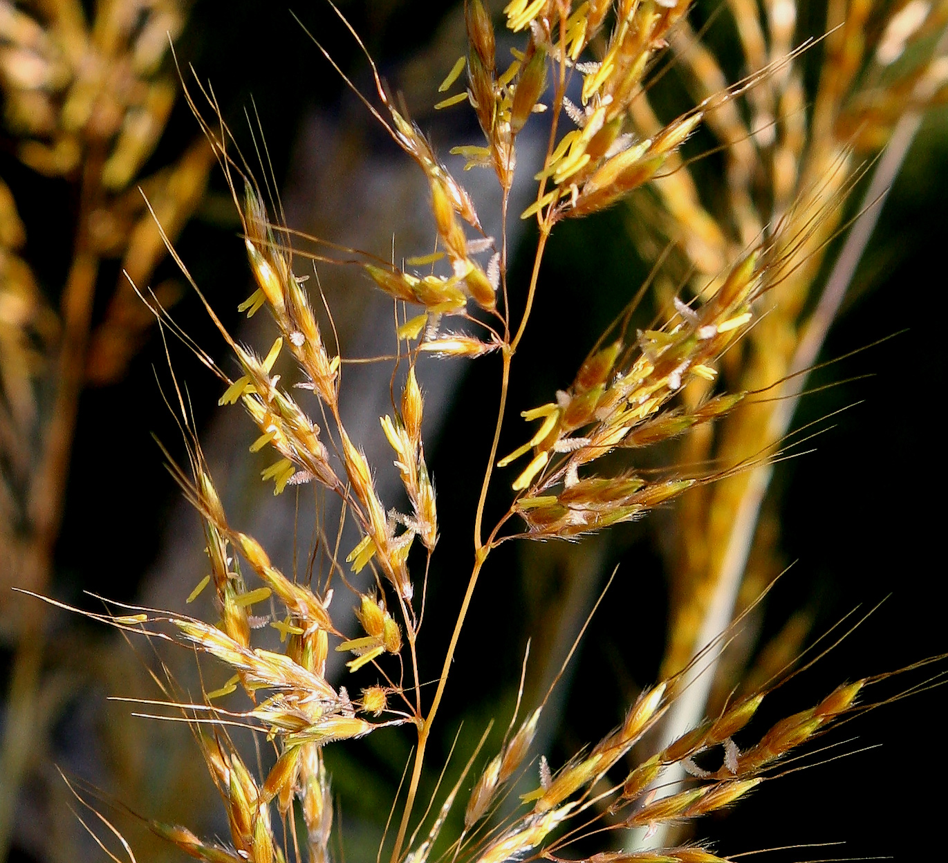 Closeup of grass stalks belonging to Gramineae, a family of flowering plants that produce the lipid isoarborinol