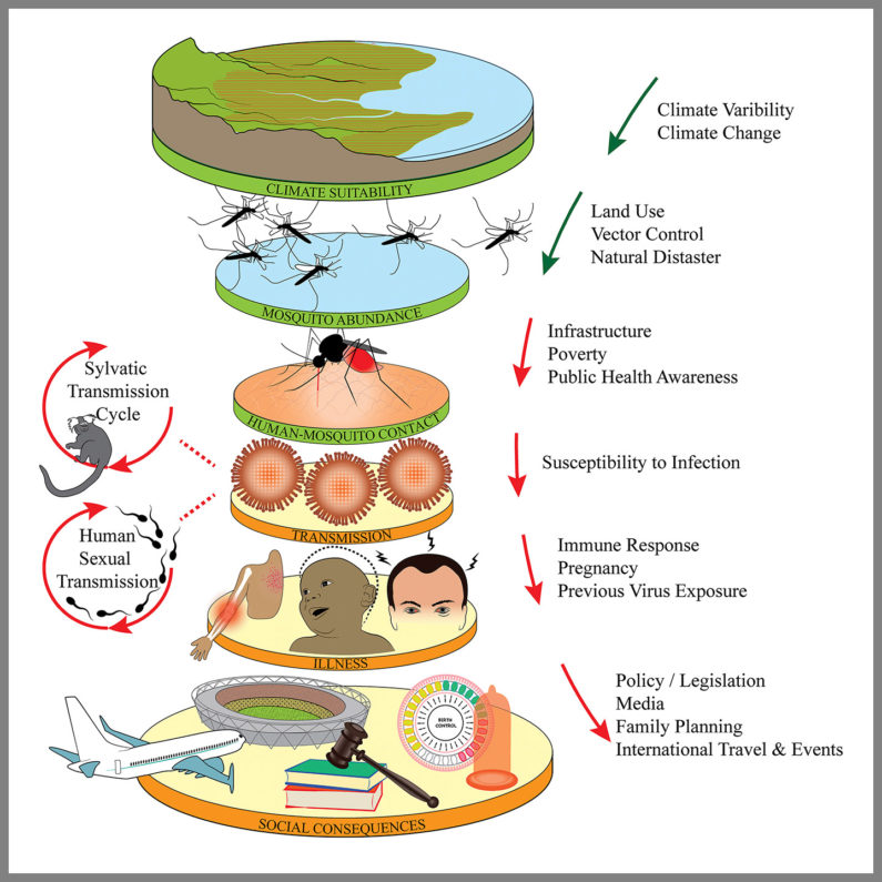 Zika effects illustrated