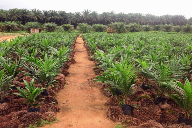 Oil palms in Cameroon