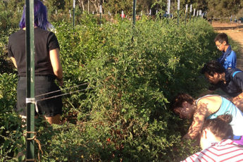 Students harvesting excess produce for the community