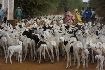 herding goats in rural Senegal