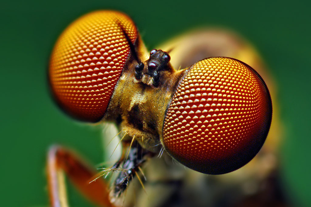 close up of eyes of a robber fly; the compound eyes inspired a new solar cell design