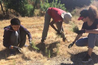 Stanford students pulling stinkwort weeds