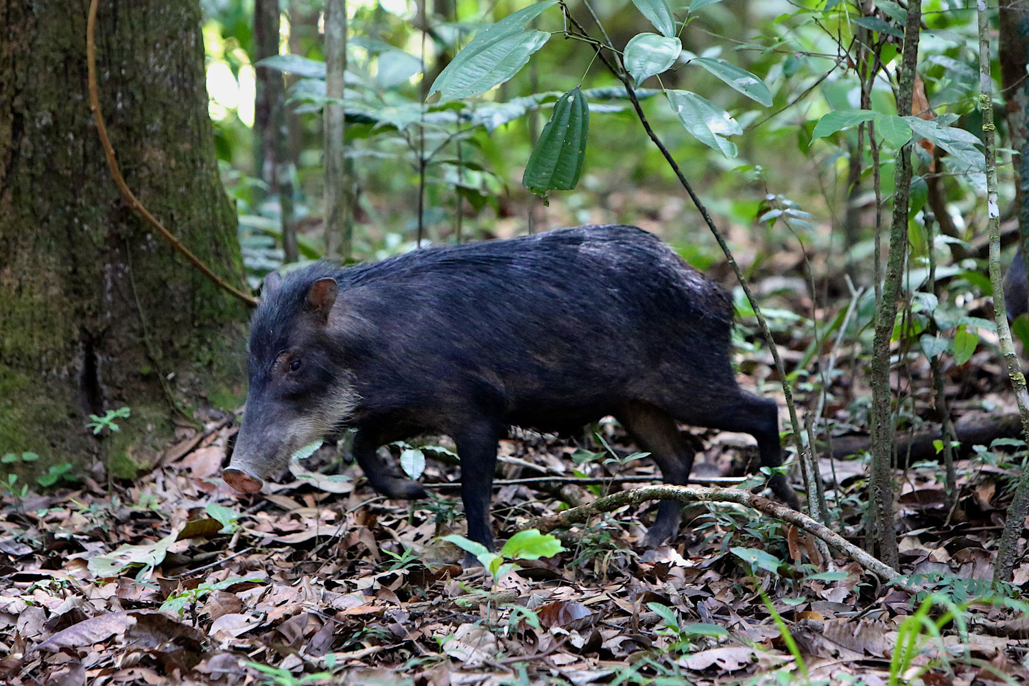 peccary in tropical forest