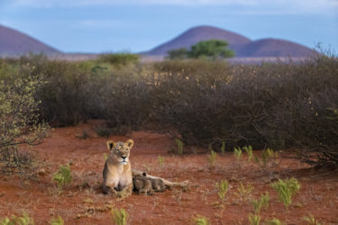 Lioness and two cubs in South Africa