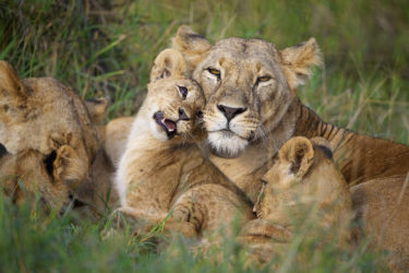 Lioness and cubs in Kenya